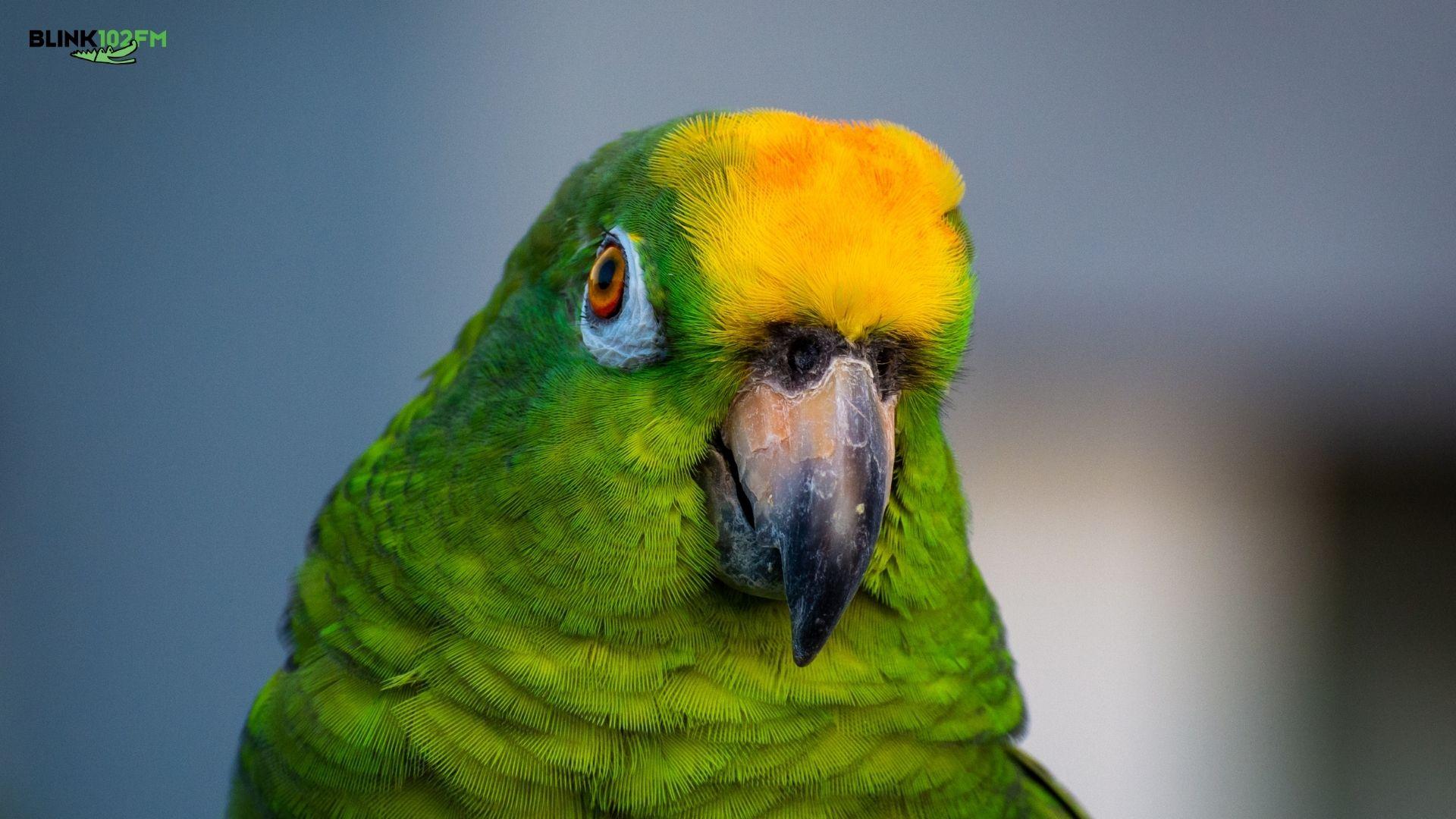 Papagaio quebra a internet. Assista!