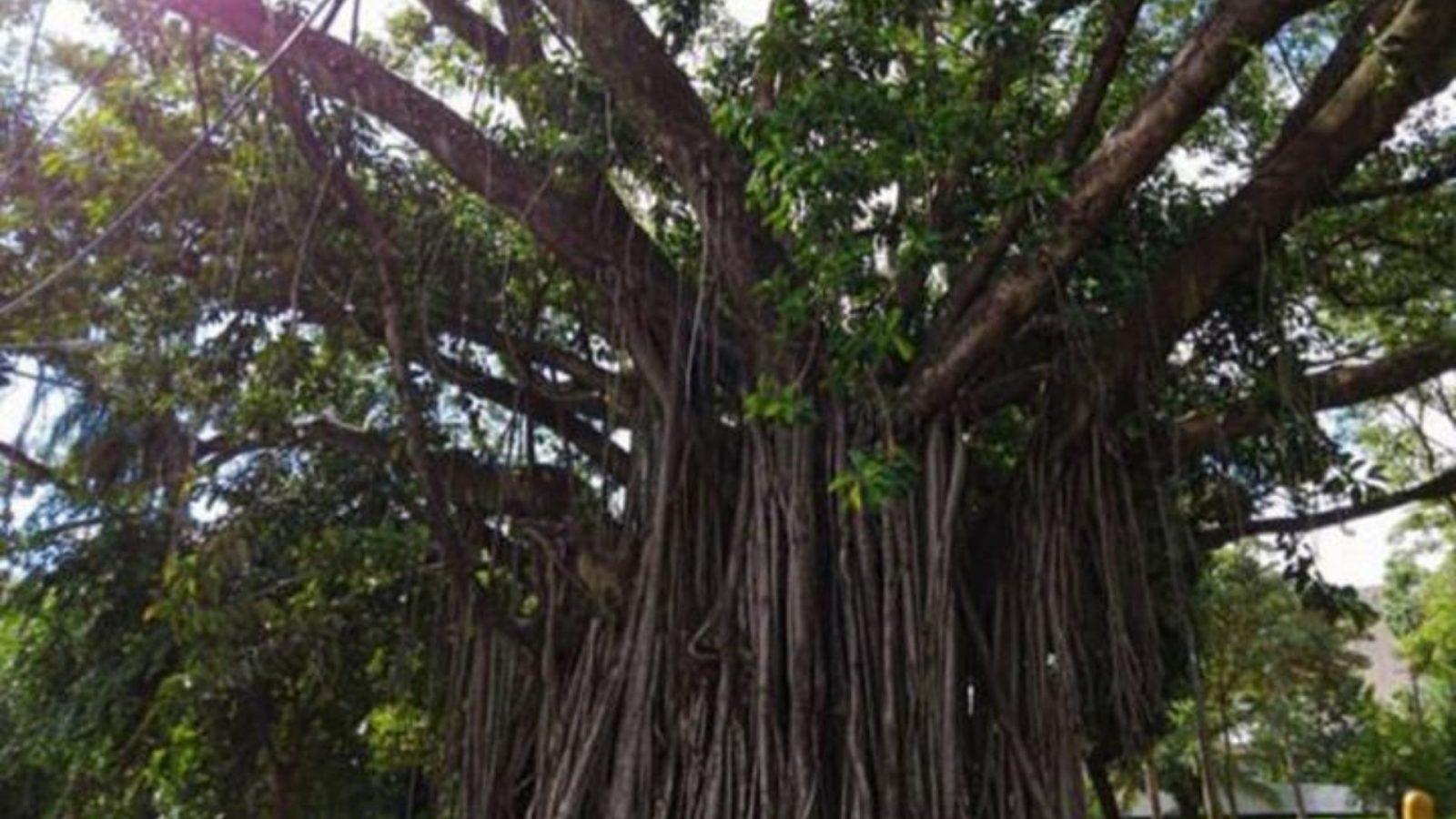 Professor se revolta com cortes de árvores em Campo Grande e escreve carta de amor a natureza.